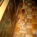 写真: 2006年03月26日の茶トラのボクチン(1歳半)