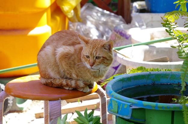 写真: 2011年03月26日の茶トラのボクチン(6歳半)