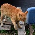 写真: 2012年04月05日の茶トラのボクチン(7歳半)