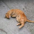 写真: 2008年04月20日の茶トラのボクチン(もう直ぐ4歳)