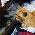 写真: 2011年05月08日の茶トラのボクチン(7歳)