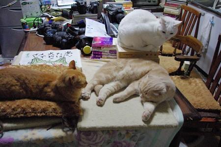 2015年5月21日のシロちゃん(2歳)・スコちゃん(2歳)、トラちゃん(1歳半)