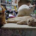 Photos: 2015年5月21日のシロちゃん(2歳)・スコちゃん(2歳)、トラちゃん(1歳半)