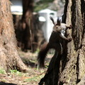 森の忍者・蝦夷栗鼠