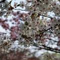 Photos: 二色の桜