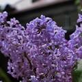 雨上がりの紫・時空を越えて