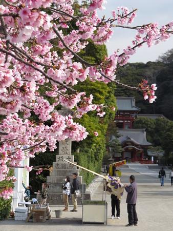 鶴岡八幡宮 早咲きの桜が1本