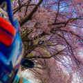 Photos: 桜ドライブ