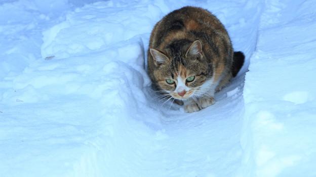 写真: 雪猫(2)