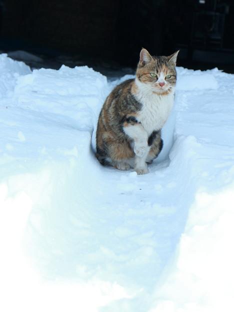 写真: 雪猫(5)