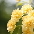 Photos: 初夏のバラ