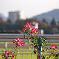 Photos: ばらの花