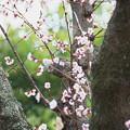 写真: 梅とヒヨドリ 2015.03.21