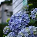 大仏への道中の紫陽花
