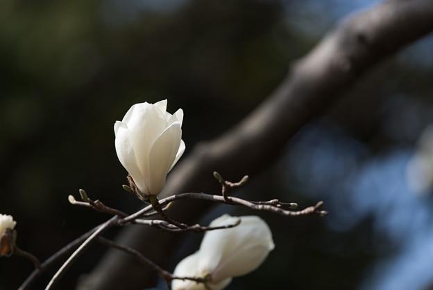 【新宿御苑(ハクモクレン)】5