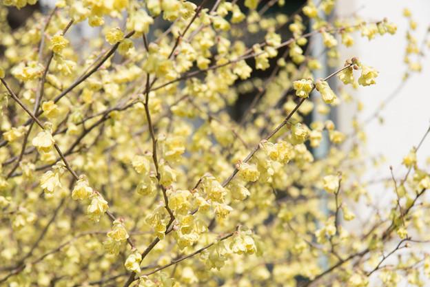 【新宿御苑(黄色の花)】2