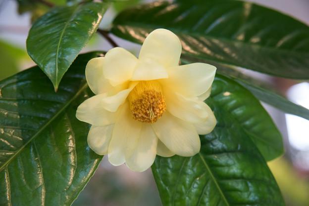 【花菜ガーデン(黄色の椿)】