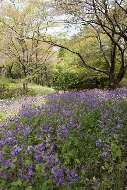 【昭和記念公園(ムラサキハナナ)】1