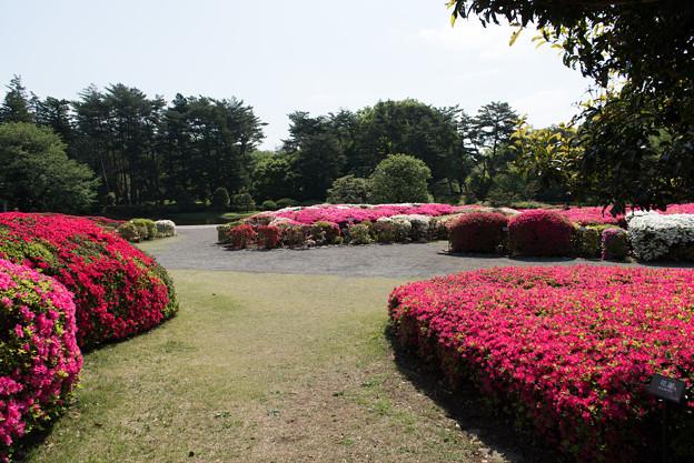 【神代植物公園(ツツジ)】1