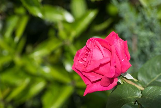 【庭の花(バラ)】1