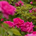 Photos: 【花菜ガーデン(モーニング・ジュエル)】1