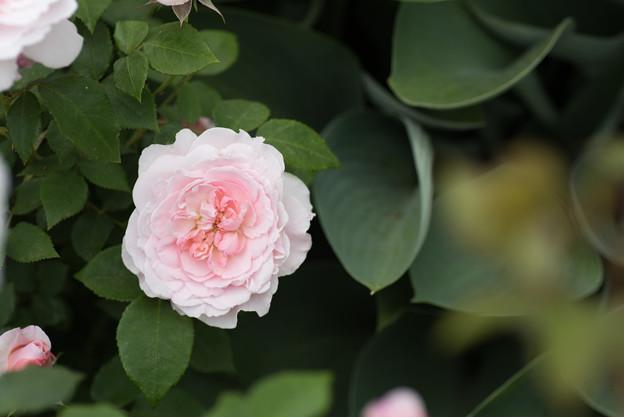 【花菜ガーデン(ミス・アリス)】2