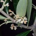 【オリーブの花】1