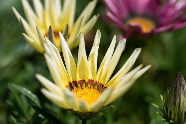 【庭に咲く花(ガザニア)】(3)