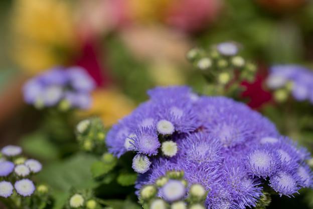 031【庭に咲く花(アゲラタム)】