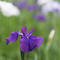 【正覚寺の花菖蒲(紫)】1