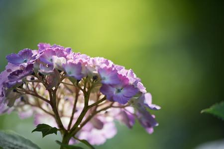 【正覚寺の紫陽花(紫)】5