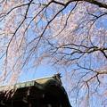 写真: IMG_8157有栖館(有栖川宮旧邸)・枝垂桜