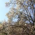 IMG_8170京都御苑・白木蓮