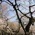 Photos: IMG_8177京都御苑・近衞邸跡の糸桜