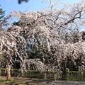 Photos: IMG_8183京都御苑・近衞の糸桜