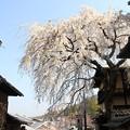 写真: IMG_8550産寧坂・明保野亭前の枝垂桜