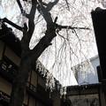写真: IMG_8551産寧坂・明保野亭前の枝垂桜