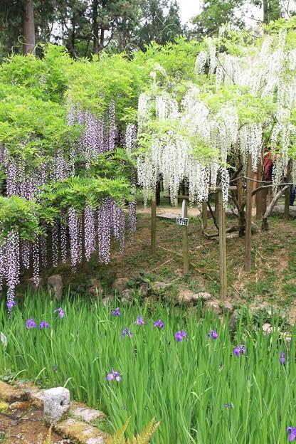 IMG_0100春日大社神苑萬葉植物園・藤と杜若