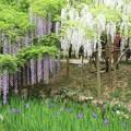 Photos: IMG_0100春日大社神苑萬葉植物園・藤と杜若