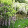 Photos: IMG_0107春日大社神苑萬葉植物園・藤と杜若