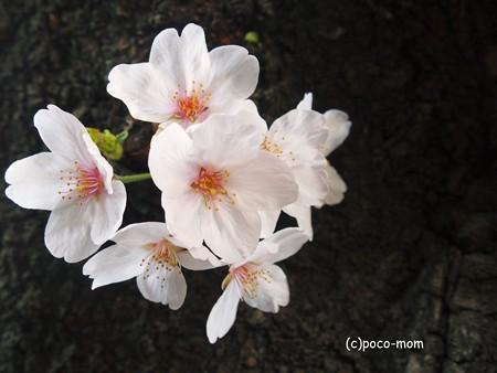桜2015年04月03日_P4030091