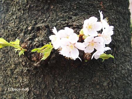桜2015年04月03日_P4030092