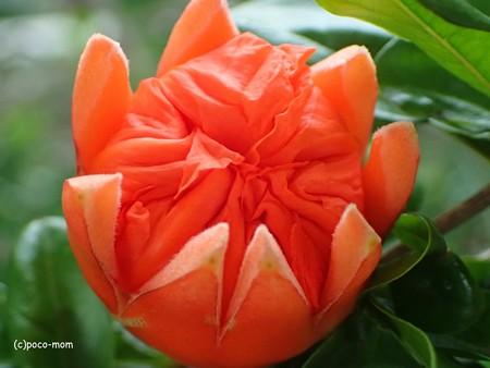 オリンパス GT-4 でザクロの花を撮る P60502691