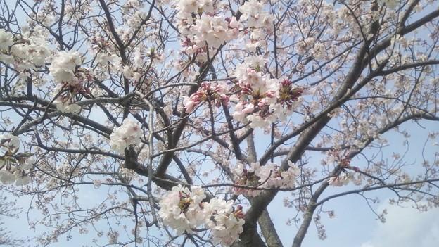 大淀川堤防の桜3
