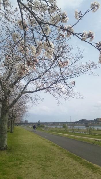 大淀川堤防の桜4