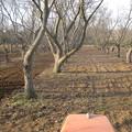 写真: 栗畑 (2)