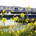 Photos: 菜の花列車