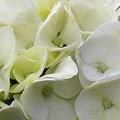 写真: 白陽花