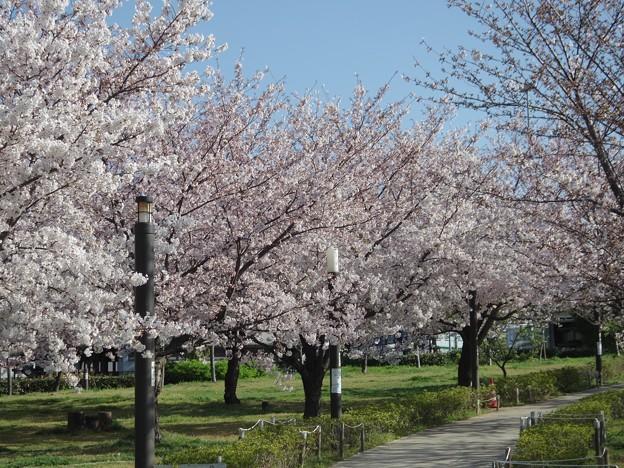 写真: 桜街道