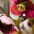 ワインレッドの花